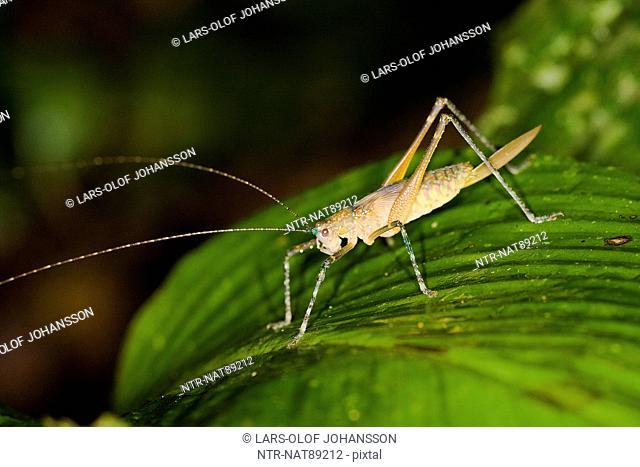 Cricket on leaf, close-up