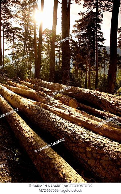 Tree cutting. Sierra de Guadarrama. Madrid Province. Spain