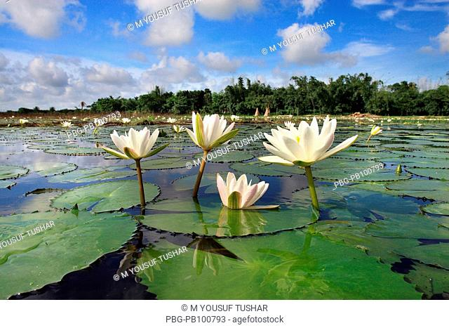 Water lily is the national flower of Bangladesh It is also an edible vegetable Munshiganj, Bangladesh September 2007