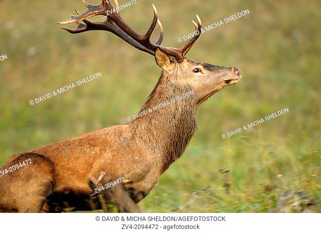 Close-up of a red deer (Cervus elaphus) male running on a meadow