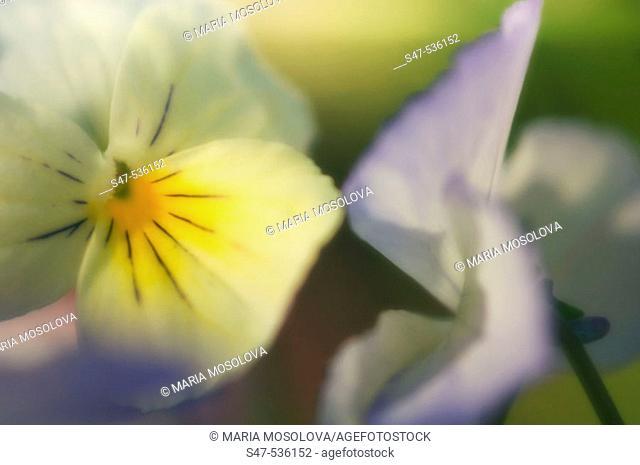 Pansy Flowers. Viola x wittrockiana, Maryland, USA