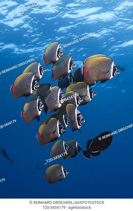 Shoal Redtail Butterfyfish, Chaetodon collare, Felidhu Atoll, Indian Ocean, Maldives