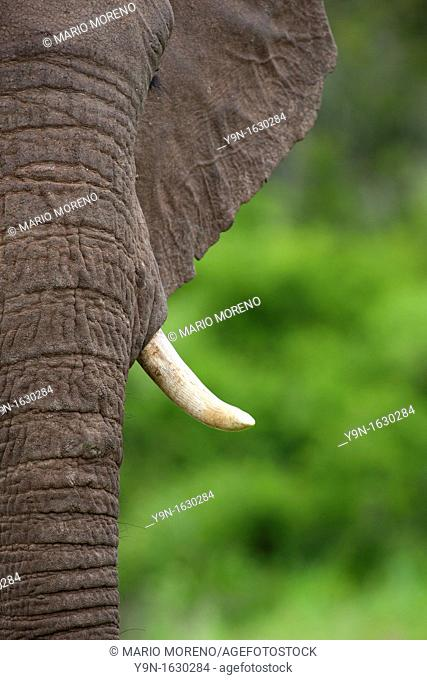 Close up portrait of and elephant Loxodonta Africana in Addo Elephant National Park, South Africa