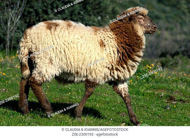 Domestic sheep on meadow Greece