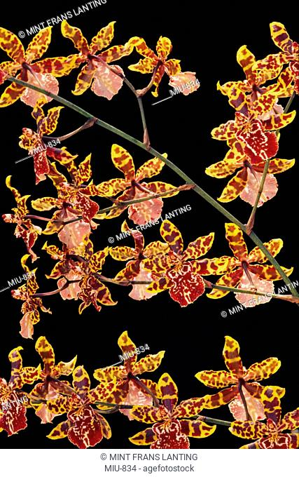 Orchid, Colmanara wildcat