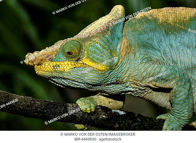 Parson's chameleon (Calumma parsonii parsonii), male, Ranomafana National Park, Madagascar