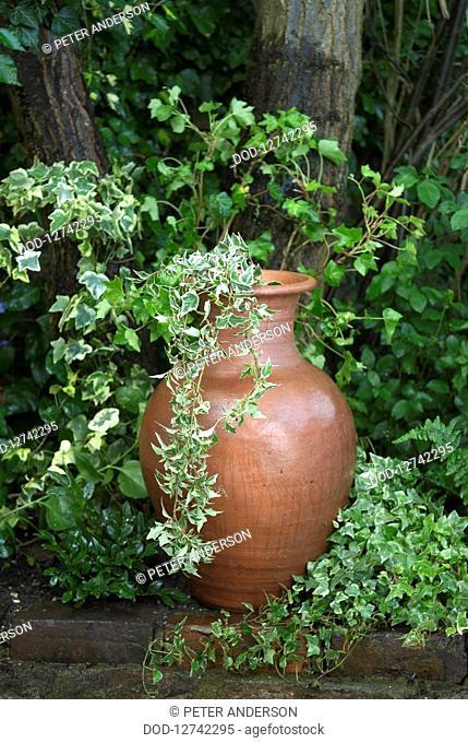 Ivy in large clay jar in garden