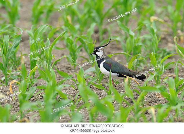 Northern Lapwing in cornfield, Vanellus vanellus, Hessen, Germany, Europe
