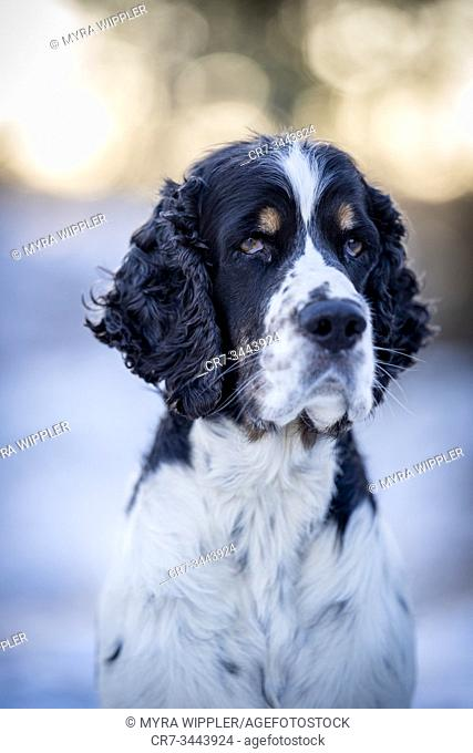 English springer spaniel dog in the snow