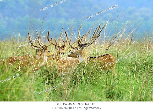 Spotted Deer (Axis axis) five adult males, with antlers in velvet, standing in grassland, Jim Corbett N.P., Uttarkhand, India, May