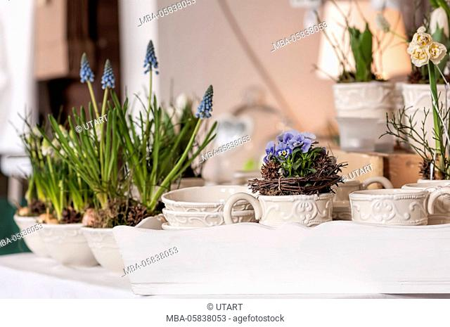 Flower arrangement with woodwork and dwarf's pansy in ceramics cups on a white tablet. In the background flowerpots with grape hyacinths