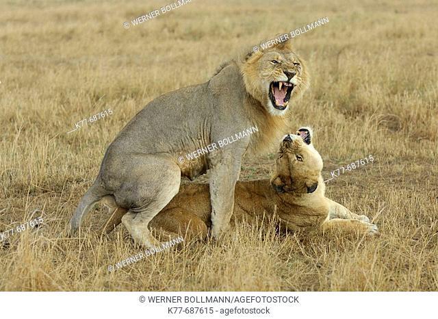 Lions (Panthera leo), copulation. Massai Mara, Kenya