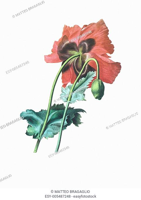 flower antique illustration papaver