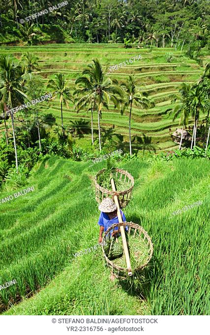 Farmer at the rice terraces near Tegallalang, Bali, Indonesia