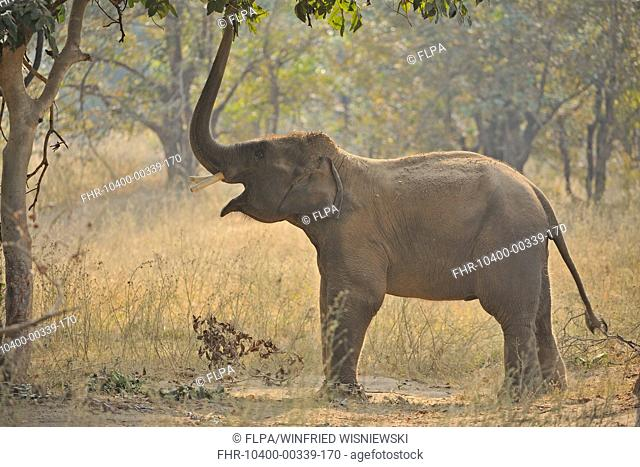 Asian Elephant (Elephas maximus indicus) domesticated calf, with chain on leg, reaching for leaves with trunk, Bandhavgarh N.P