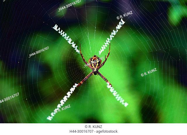 St Andrew's Cross spider, Argiope versicolor, Araneidae, Orb-web spider, spider, spider, web, animal, rainforest, Singapore