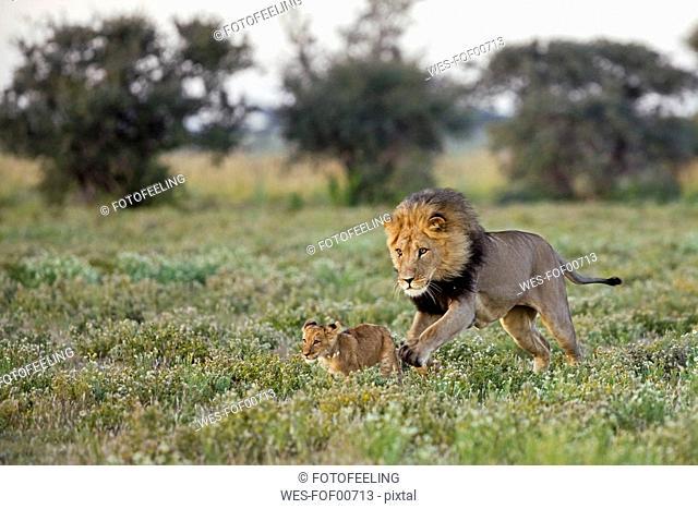 Africa, Botswana, Adult male lion Panthera leo and cub