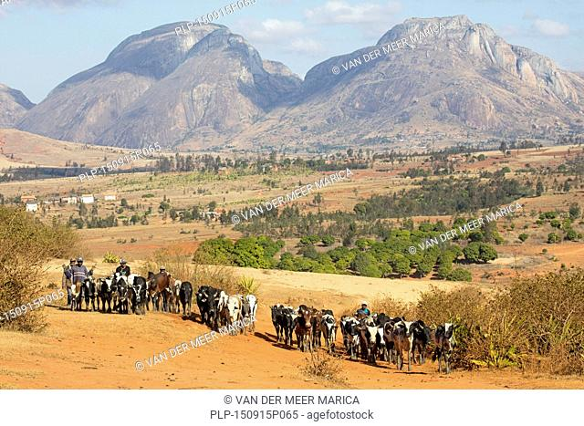 Malagasy cattle herders / cattlemen in the Central Highlands on their way to the weekly zebu market in Ambalavao, Haute Matsiatra, Madagascar, Southeast Africa