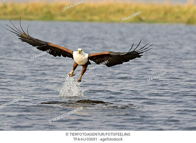 african fish eagle