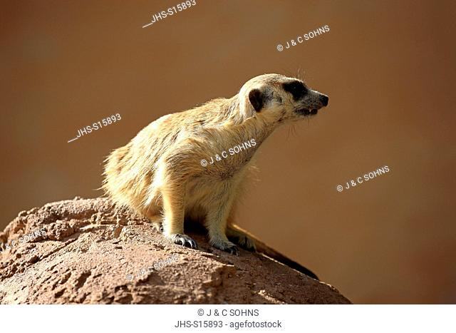 Suricate, (Suricata suricatta), adult on rock alert, Little Karoo, Western Cape, South Africa, Africa