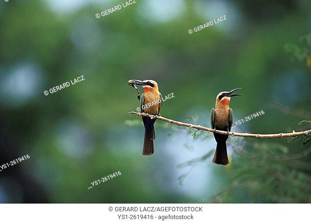 White Fronted Bee Eater, merops bullockoides, Adults standing on Branch, Eating Insect, Kenya