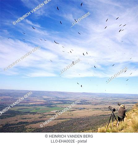 Man Photographing Cape Vultures Gyps coprotheres on a Hill Side  Magaliesberg, Gauteng Province, South Africa