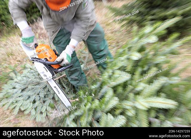 Forstarbeiter schlägt Weihnachtsbäme, Tannenbäume mit Kettensäge, Bergisches Land, Nordrhein-Westfalen, Deutschland