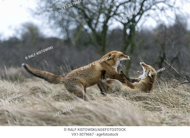 Red Fox ( Vulpes vulpes ) in fight, fighting during their rutting season, territorial behaviour, wildlife Europe