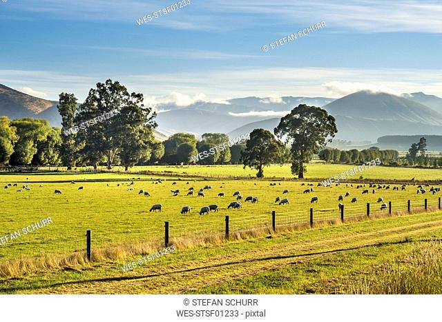 New Zealand, South Island, Southern Scenic Route, Fiordland National Park, flock of sheep