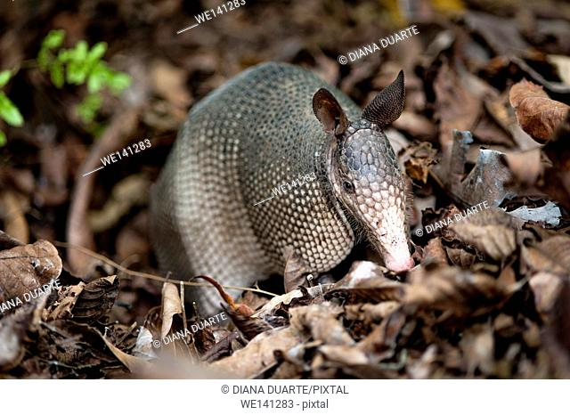 """""""""""Nine-banded armadillo"""" (Dasypus novemcinctus), Armadillos have sticky and very long, tongue to gulp up bugs in a sudden"