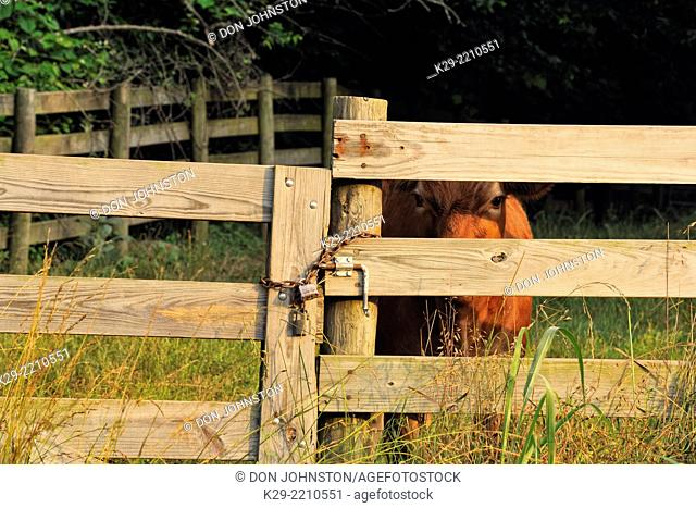 Fenceline with cow, Buffalo National River (Ponca Unit), Arkansas, USA