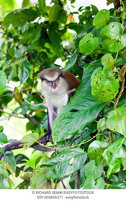 monkey in Grand Etang National Park, Grenada