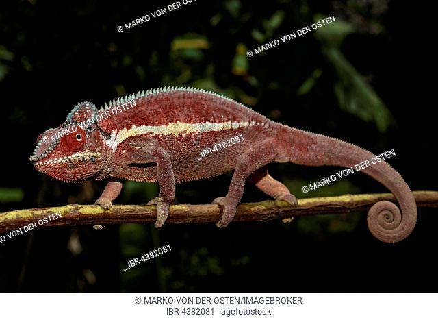 Panther chameleon (Furcifer Pardalis), male, Ankaramibe, Boeny, Madagascar