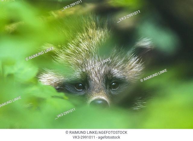 Raccoon Dog, Nyctereutes procyonoides, Portrait