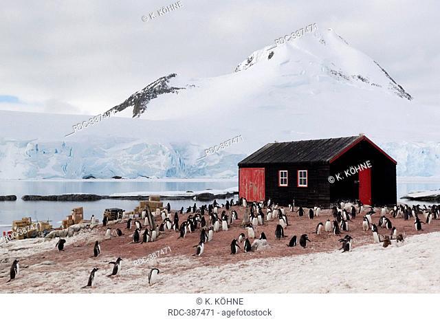 Goudier House, gentoo penguins, colony, glaciated mountain, Port Lockroy, Wiencke Island, Antarctica / (Pygoscelis papua)