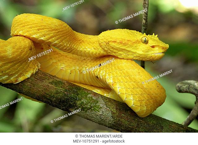 Eyelash Pit Viper - yellow coloration (Bothriechis schlegelii)