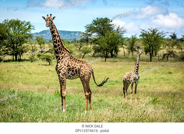 Masai giraffe (Giraffa camelopardalis tippelskirchii) stands with calf in savannah, Klein's Camp, Serengeti National Park; Tanzania
