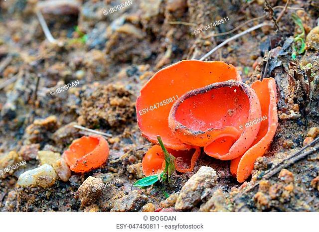 Aleuria aurantia fungus, also known as the orange peel mushroom
