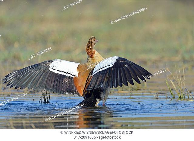 Egyptian goose (Alopochen aegyptiaca) taking a bath, Chobe River NP, Botswana