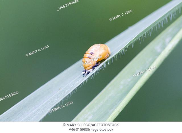 Harlequin Ladybird pupae. Harmonia axyridis, a large ladybrid speies introduced into American agriculture as bio agent to control pests