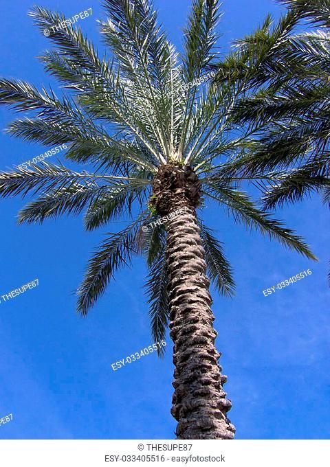 underneath a tropical florida palm tree