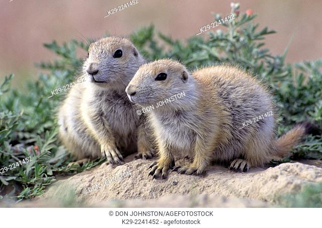 Black tailed prairie dog (Cynomys ludovicianus), Devils Monument National Monument, WY, USA