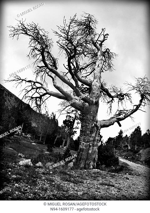 Centenary of a forest tree of the term of La Seu D'Urgell