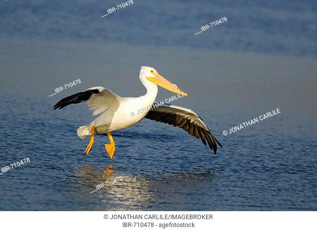 American White Pelican (Pelecanus erythrorhynchos), Sanibel Island, Florida, USA