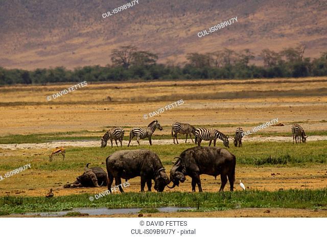 Buffalo, Syncerus caffer, Ngorogoro Crater, Tanzania