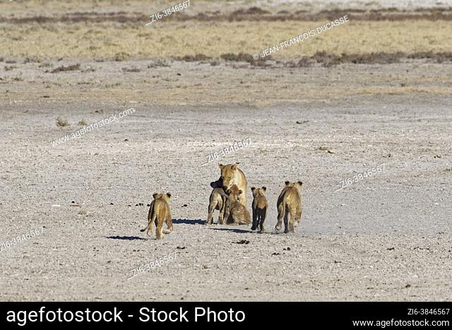 African lions (Panthera leo), cubs running towards their mother, Etosha National Park, Namibia, Africa