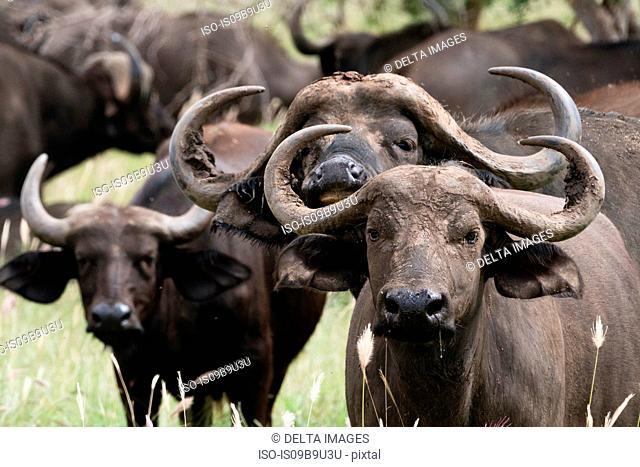 Group portrait of African buffalos (Syncerus caffer), Tsavo, Kenya