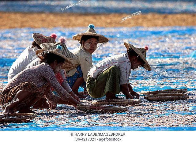 Local women wearing straw hats, sorting through fish, out to dry on blue nets on the beach of the fishing village Ngapali, Thandwe, Rakhine State, Myanmar