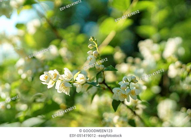 white jasmine flowers in sunny summer evening, shallow focus