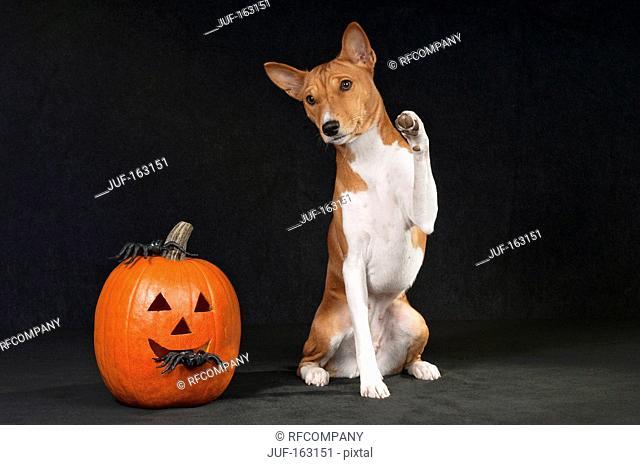 Basenji dog next to pumpkin